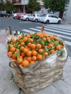 Harvesting oranges in residential Seville