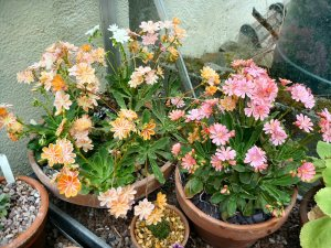 Lewisia cotyledon getting into bloom