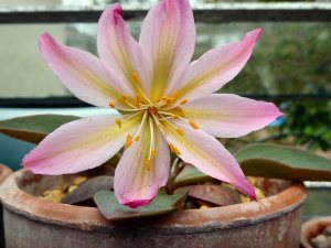 Lewisia tweedyi seedling that sowed itself in my greenhouse. A bit pink, but it can stay.