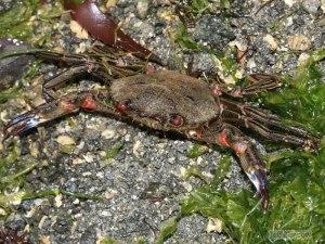velvet-swimming-crab-necora-puber-2