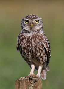 5373-little_owl_15