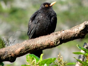 bird-photos-nz-2015-blackbird-01