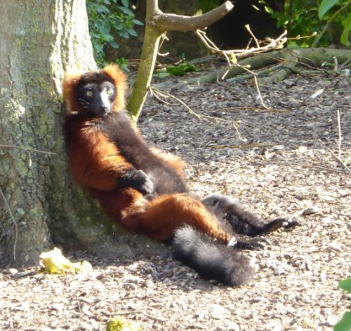 RR-lemur-small